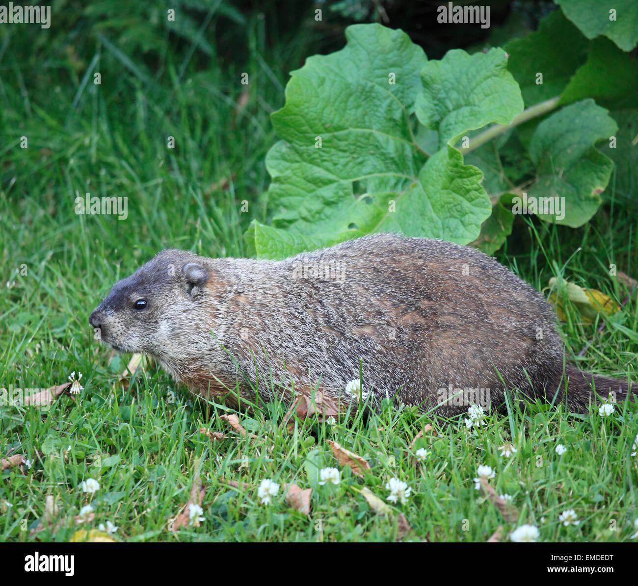 Canada, Quebec, Montreal, groundhog, marmota monax, - Stock Image