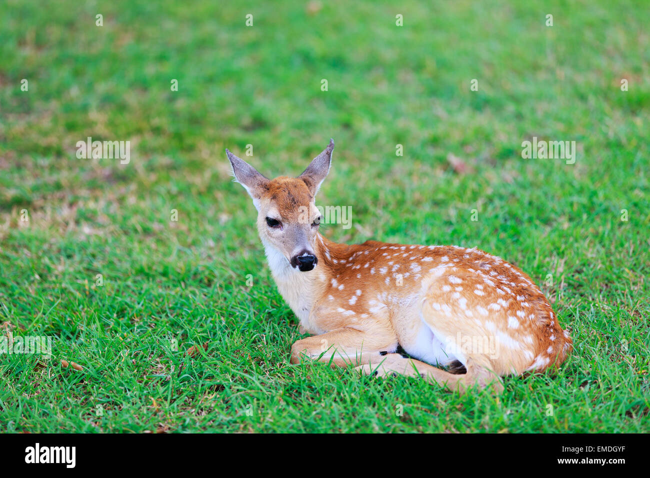 Deer fawn on grass - Stock Image