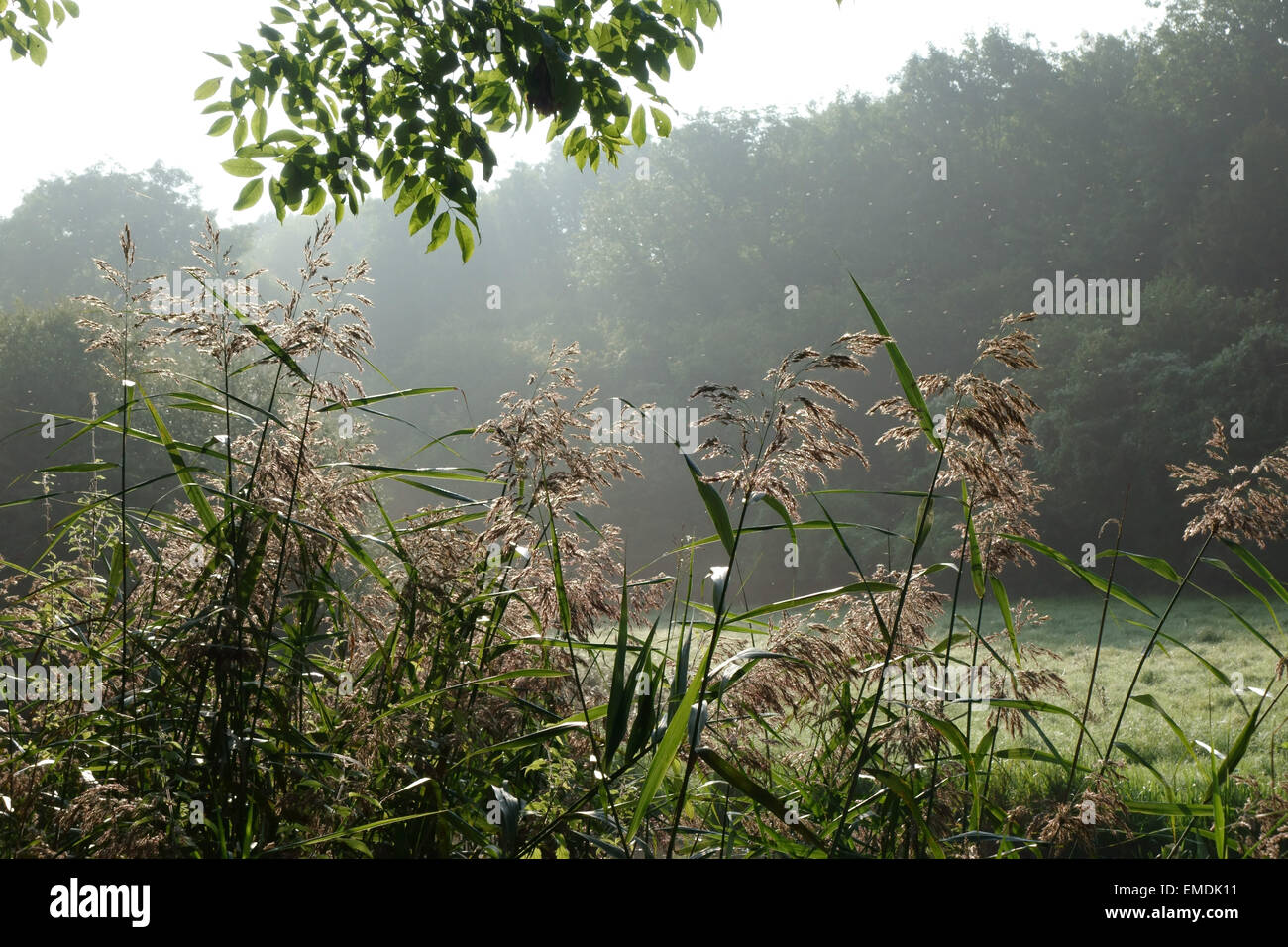 Common reed, Fragmites communis, flowering on the banks of the  Kennet & Avon Canal on misty late summer morning - Stock Image