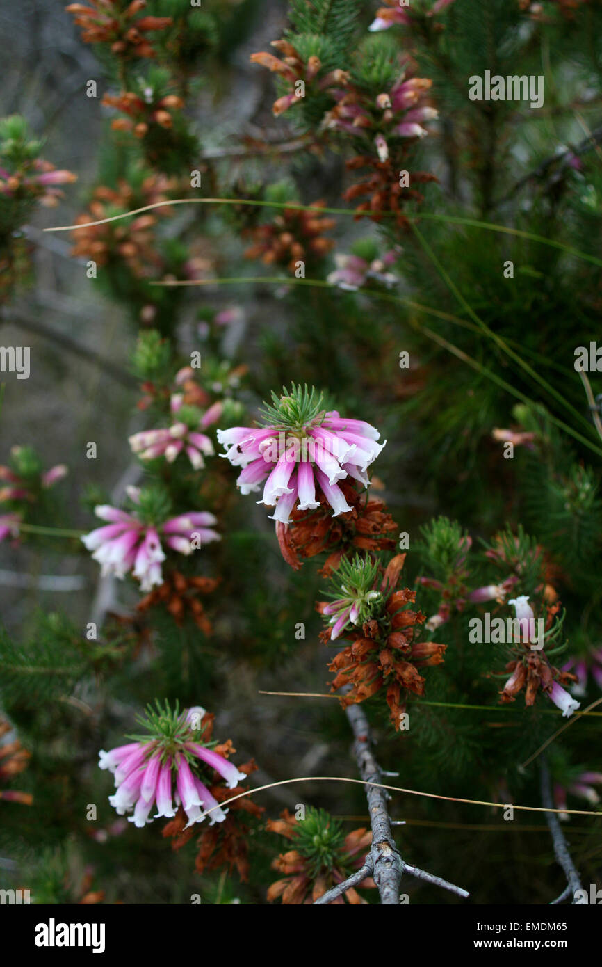 Pink pine needles stock photos pink pine needles stock images alamy pine tree pink flowers stock image mightylinksfo
