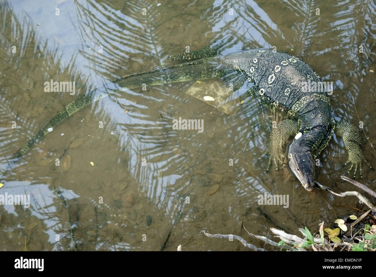 A large water monitor lizard, Varanus salvator, in water at the edge of the lake in  Lumphini Park in the centre - Stock Image