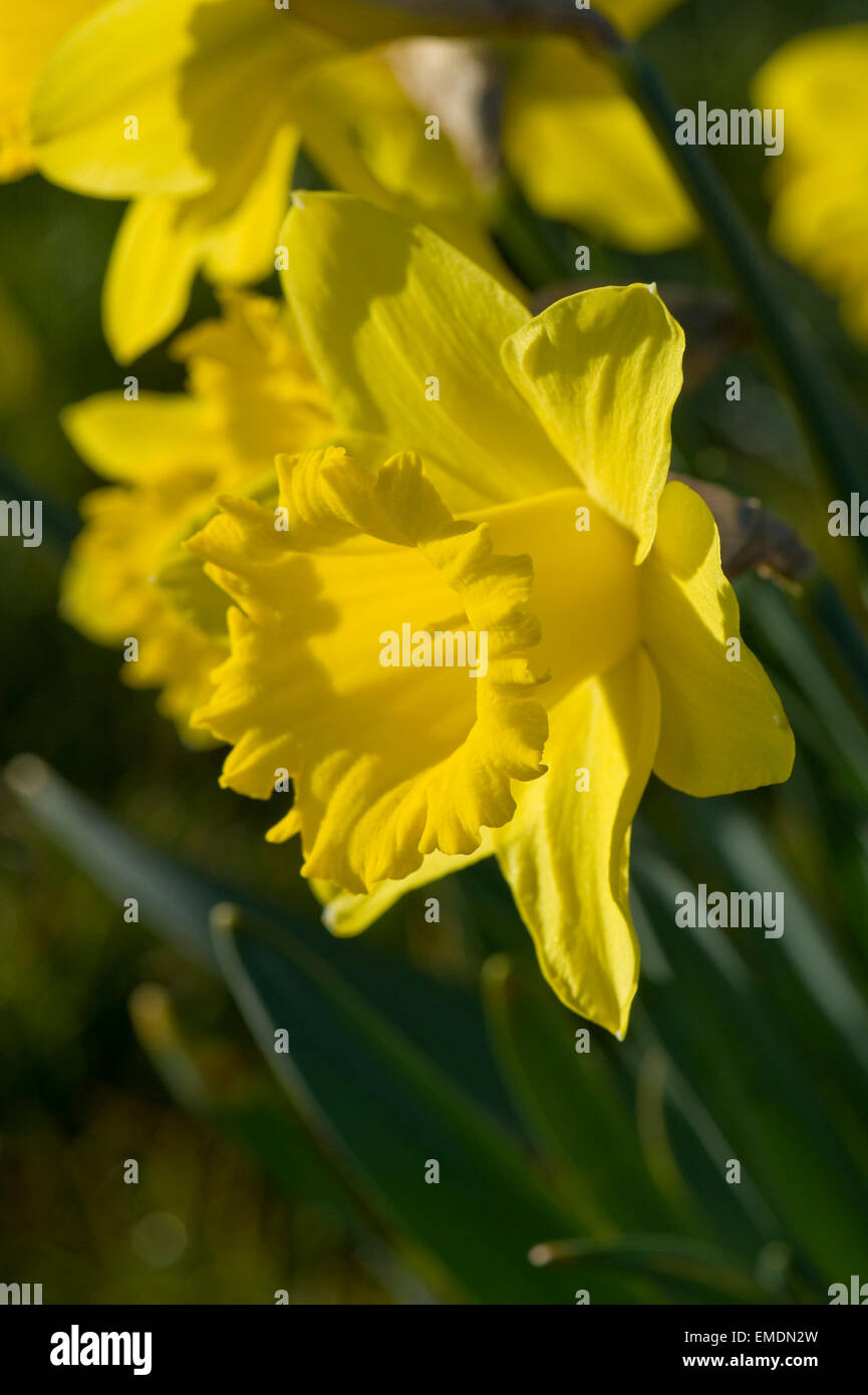 Yellow corona and tepals of a typical daffodil flower in early morning light - Stock Image