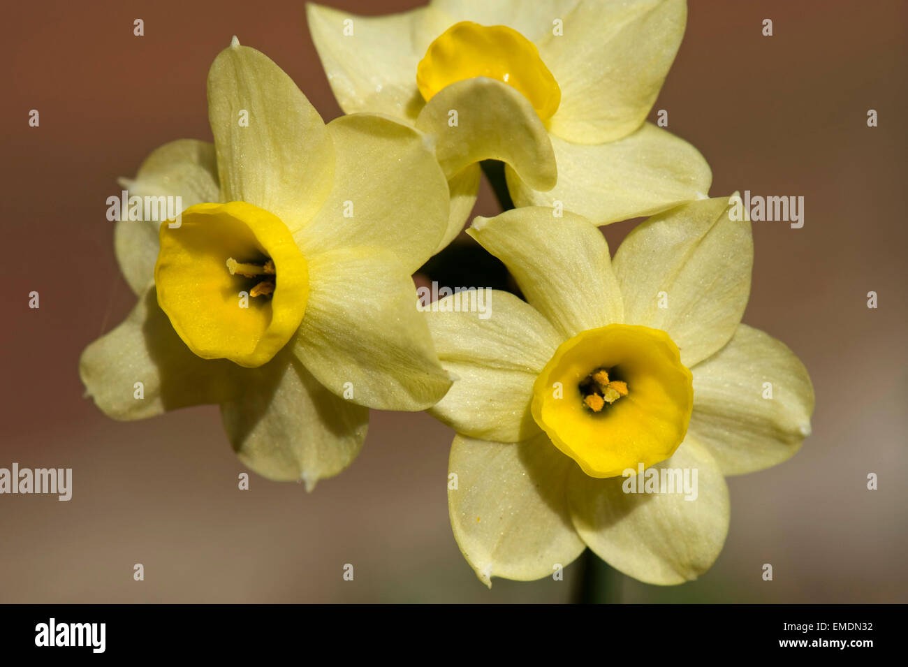Yellow flowers of Narcissus 'Minnow' a spring flowering bulb - Stock Image