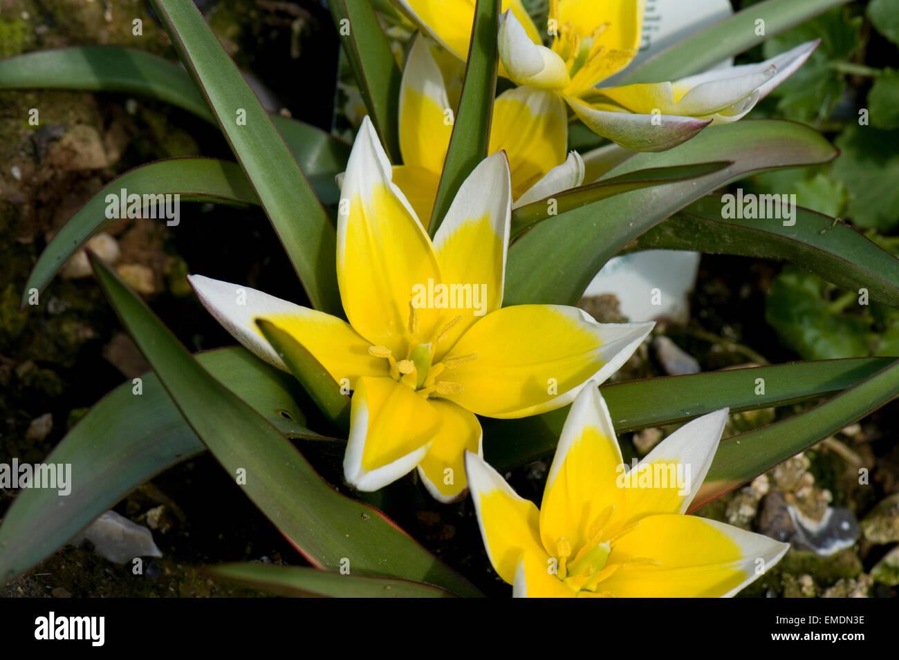 Yellow And White Flowers Of Species Tulip Tulipa Tarda Low Growing