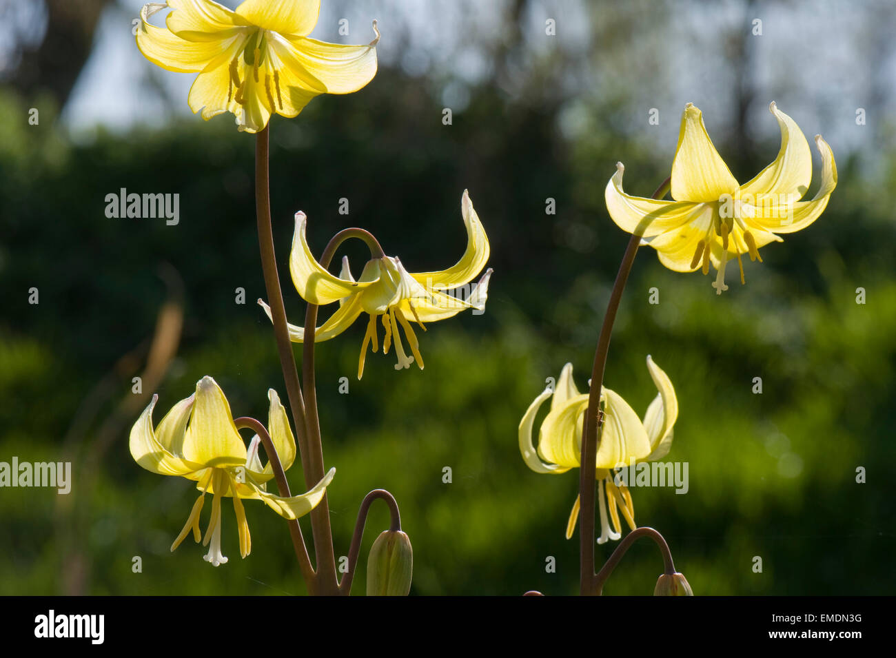 Dog's tooth violet, Erythronium 'Pagoda' yellow flowers on and ornamental garden bulb plant - Stock Image