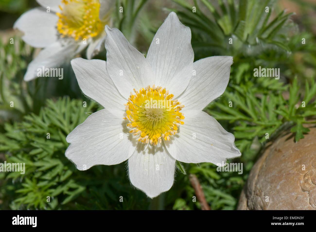 A white pasque flower, Pulsatilla vulgaris alba, flowering at Easter time, Berkshire, April - Stock Image