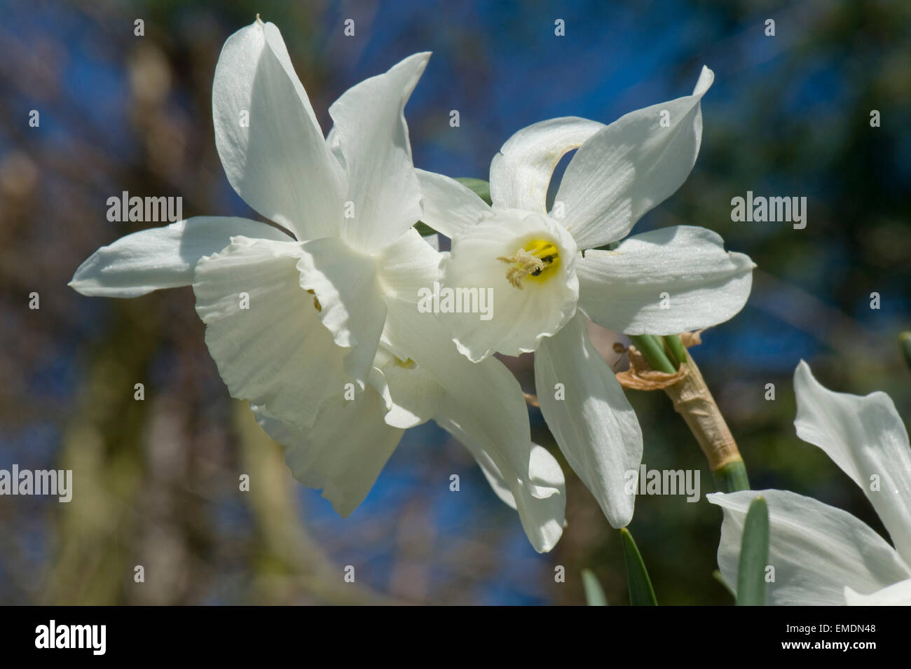 White flowers of a multi-headed Narcissus thalia on a bright spring day, Berkshire, April - Stock Image