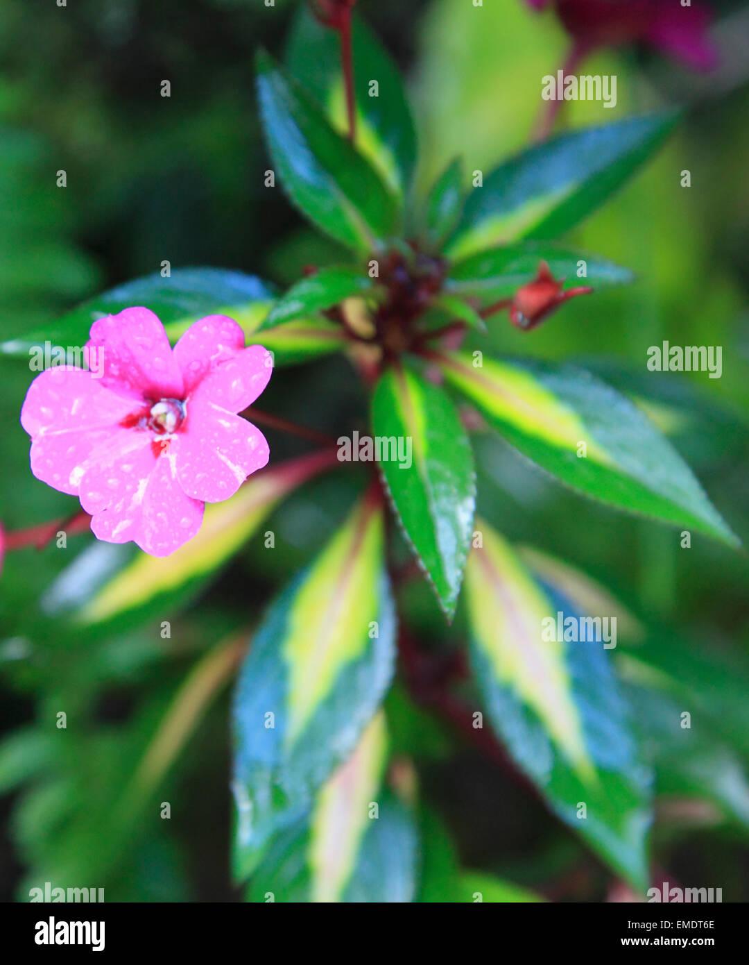 Hawaii, Big Island, Hilo, garden, flower, - Stock Image