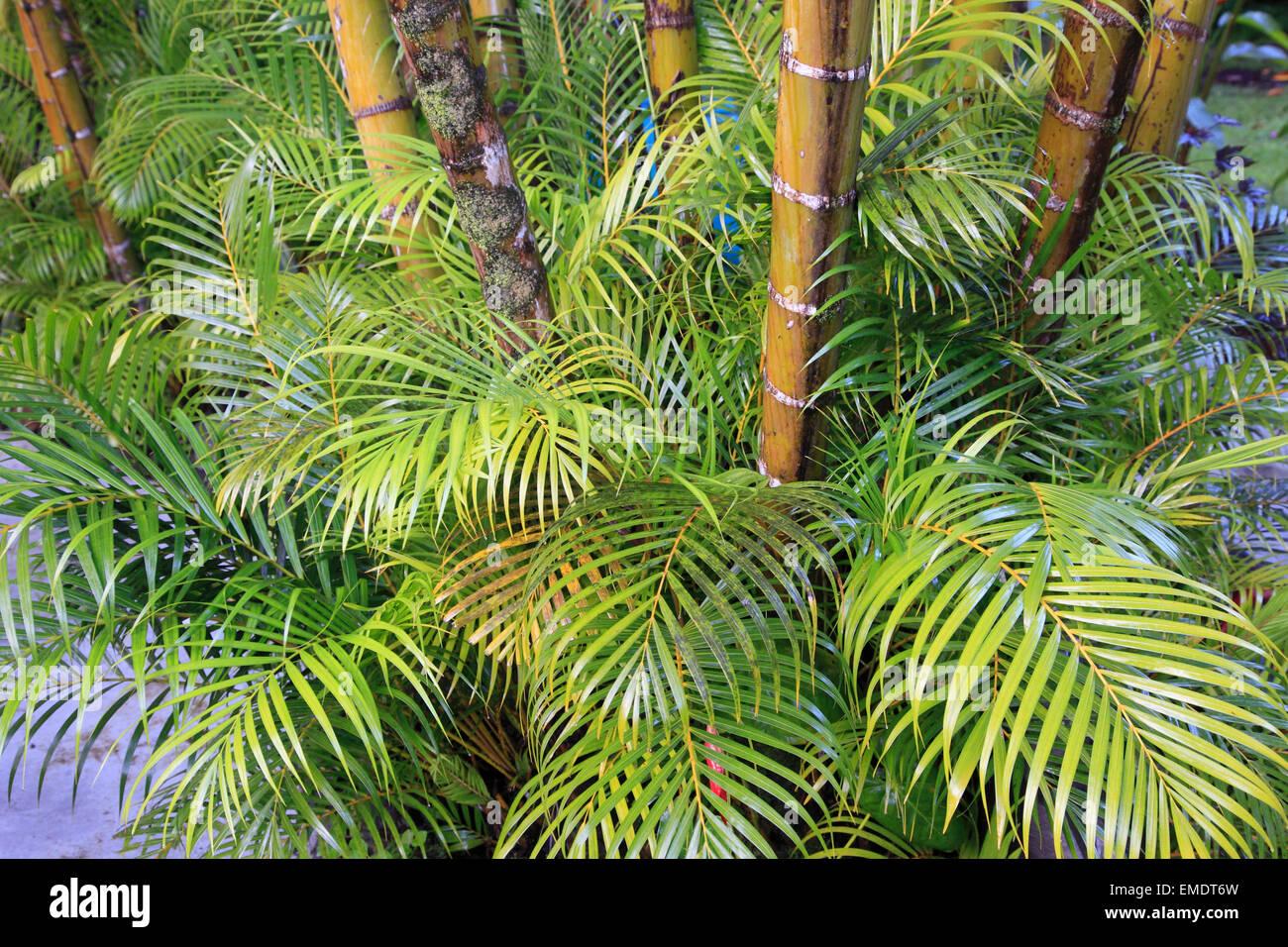 Hawaii, Big Island, Hilo, garden, bamboo, - Stock Image
