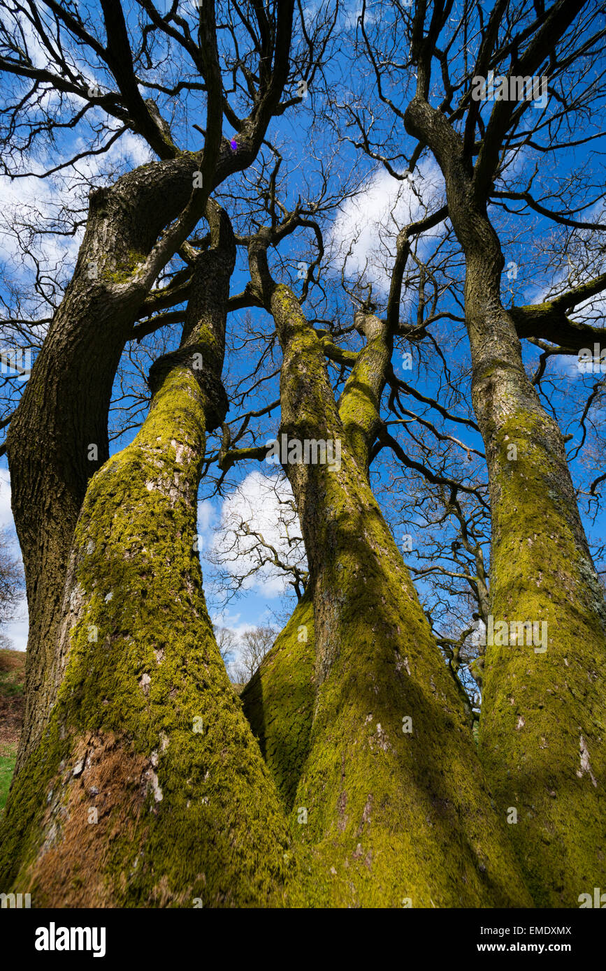 Oak trees reaching for the sky on Burrow Hill Iron Age hill fort, Shropshire. - Stock Image