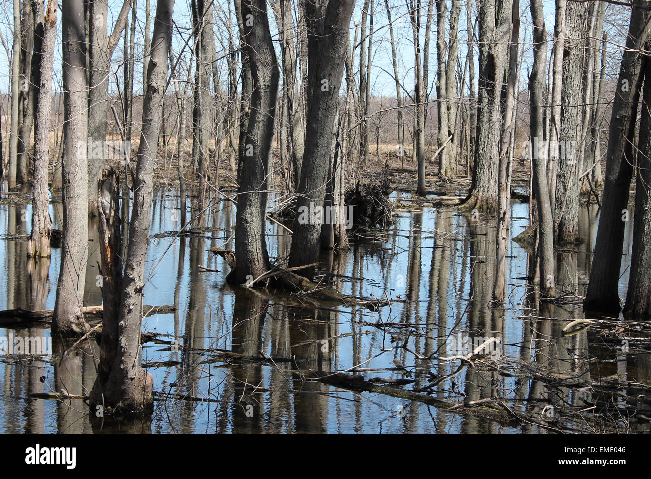 Canadian woodland flooded after the spring thaw of snow - Stock Image