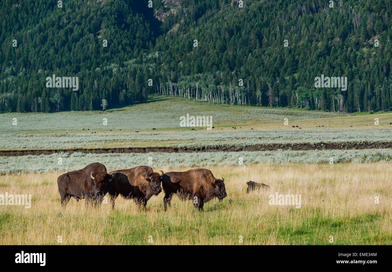 Bison laze in open pasture at dawn surrounded by grassland and pine forest in Yellowstone National Park, Wyoming, - Stock Image