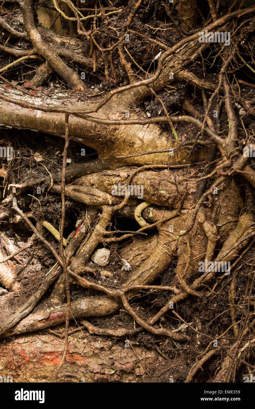 Roots of the Gumbo Limbo tree (Bursera simaruba) along the Gumbo Limbo trail, Florida Everglades National Park. - Stock Image