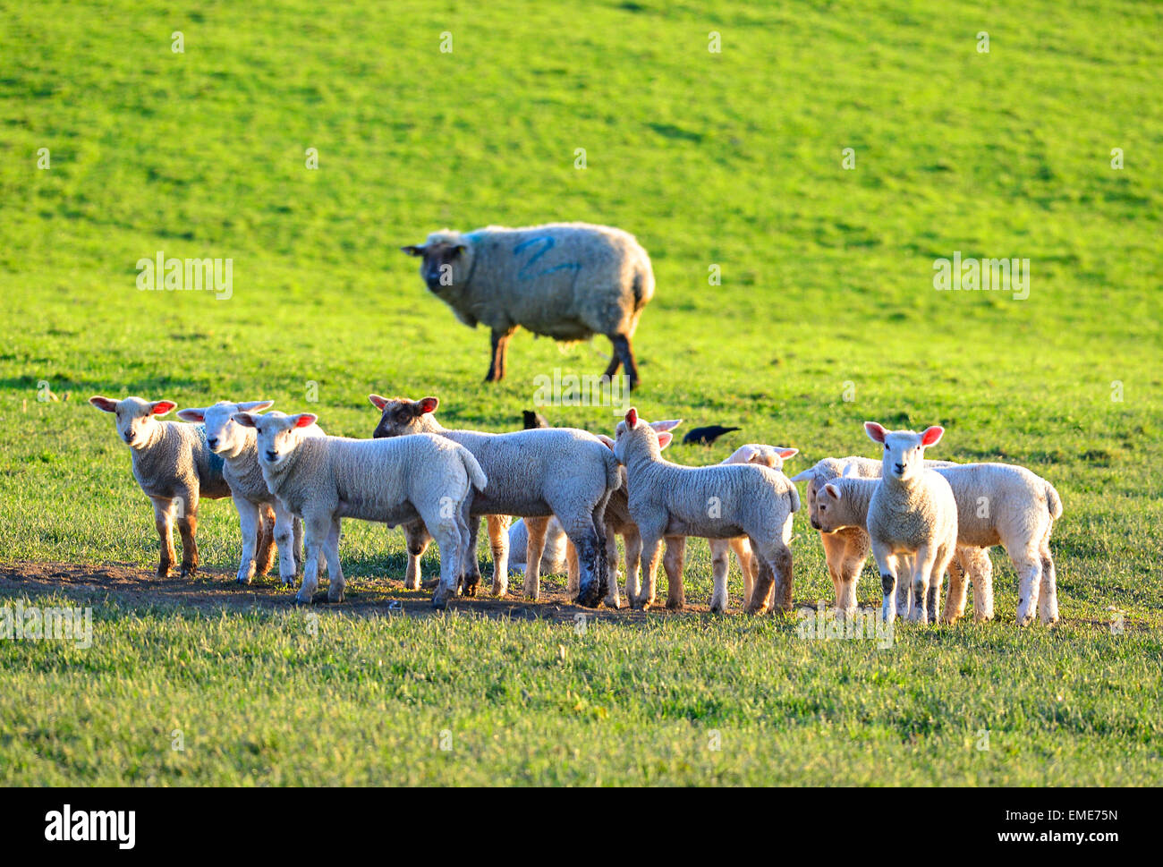 Flock of lambs watched by a sheep in a field at Burt, County Donegal, Ireland. - Stock Image