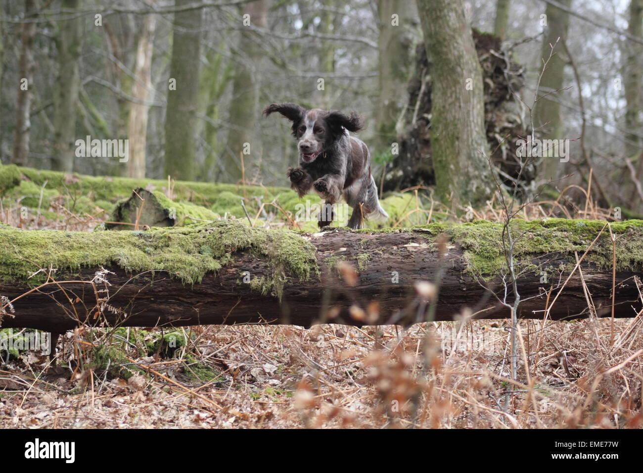 Cocker spaniel jumping over a fallen tree - Stock Image