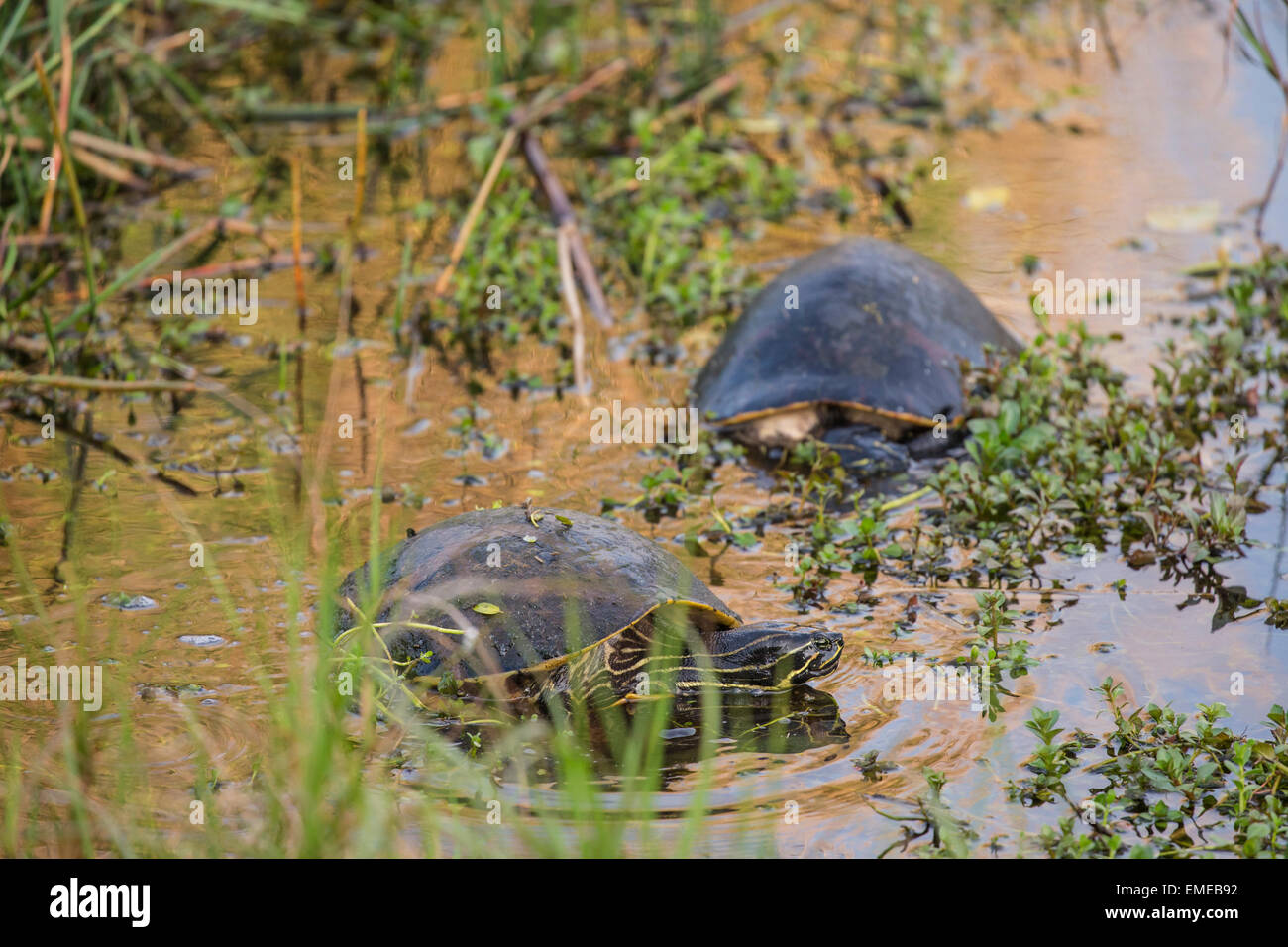 Florida red-bellied cooter or redbelly turtle (Pseudemys nelsoni) along the Anhinga Trail, Florida Everglades National Stock Photo