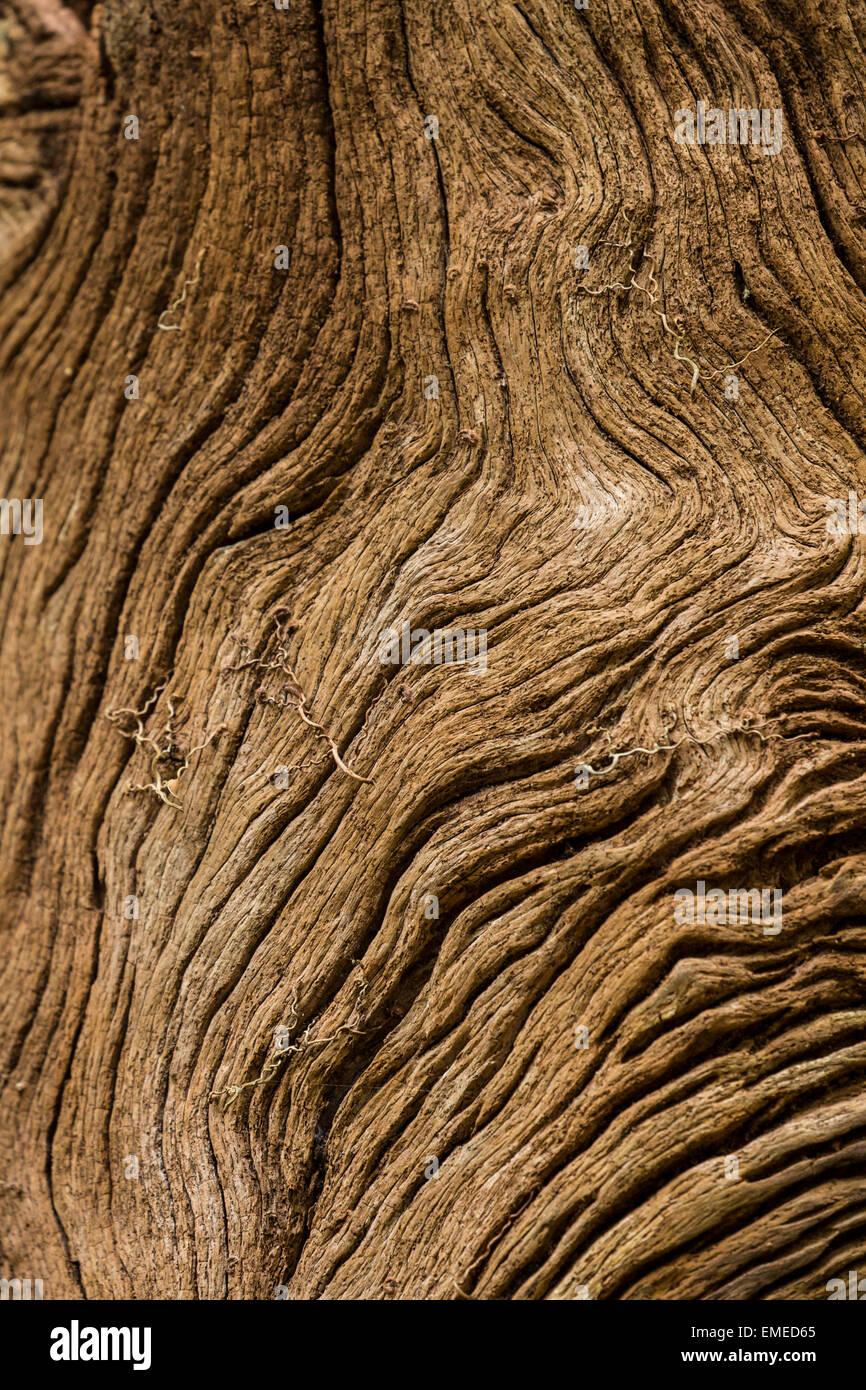 Bark pattern on the Gumbo Limbo tree (Bursera simaruba) in the Gumbo Limbo trail, Florida Everglades National Park. - Stock Image