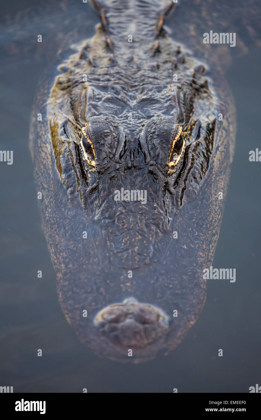 American alligator (Alligator mississippiensis) along the Anahinga Trail in the Everglades National Park, Florida, - Stock Image