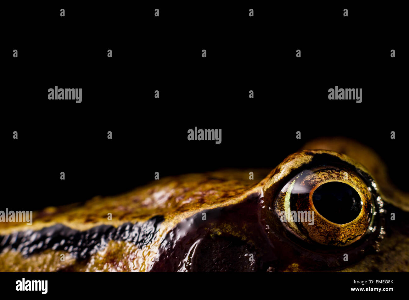 Common Frog Rana temporaria, a close up of its eye against a black background, St Mary's, Isles of Scilly, November - Stock Image