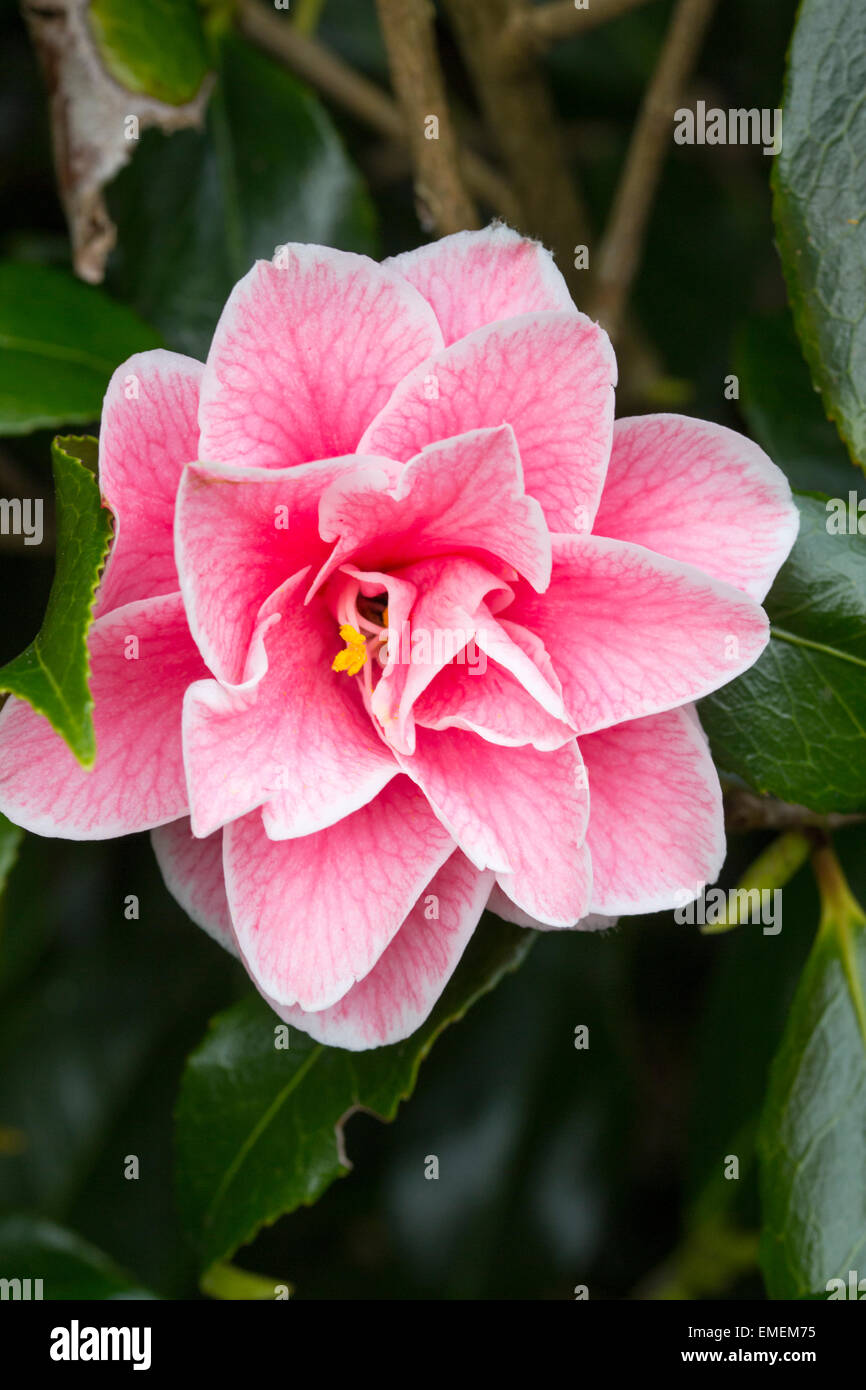 Single Spring Flower Of Camellia Japonica Lady Vansittart Pink