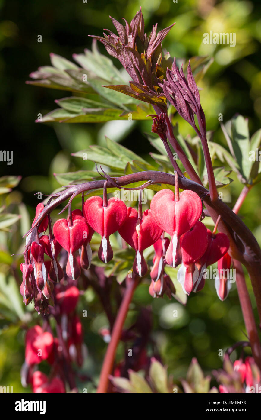 Maroon tinted foliage and darker flowers of the bleeding heart, Lamprocapnos spectablis 'Valentine's Day' - Stock Image