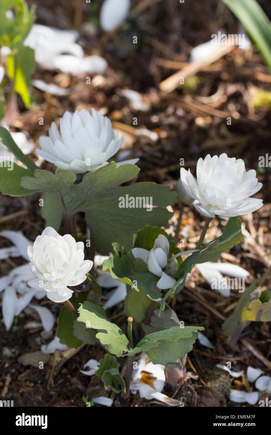 Double white flowers of the spring blooming bloodroot, Sanguinaria canadensis f. multiplex 'Plena' - Stock Image