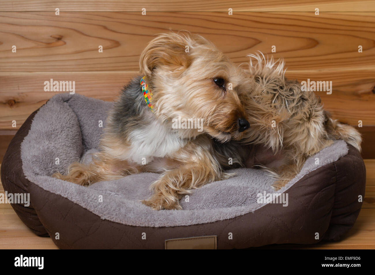 A cute Yorkshire terrier relaxing in his bed. - Stock Image