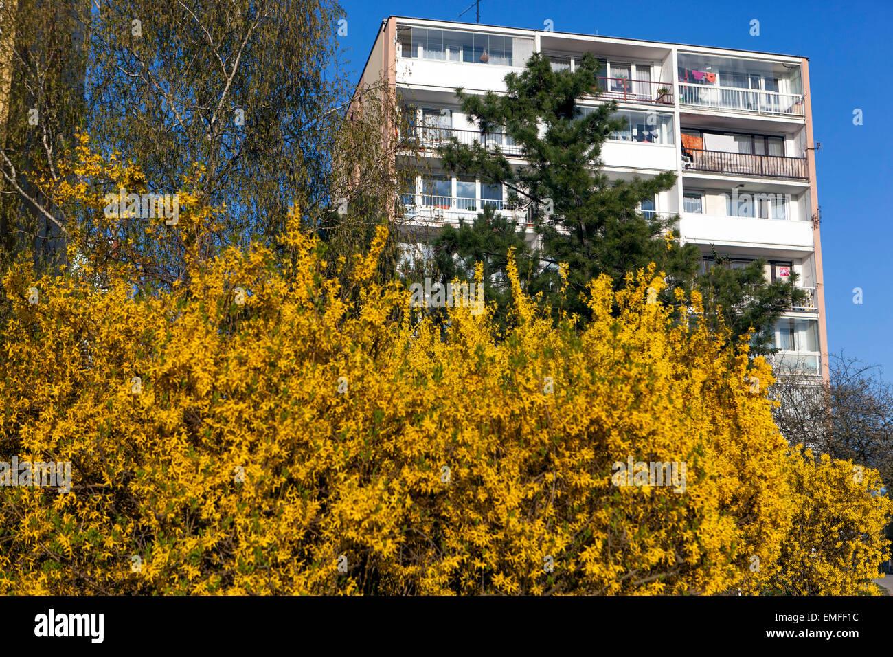 Forsythia x intermedia, garden shrub flowering in early Spring Stock Photo