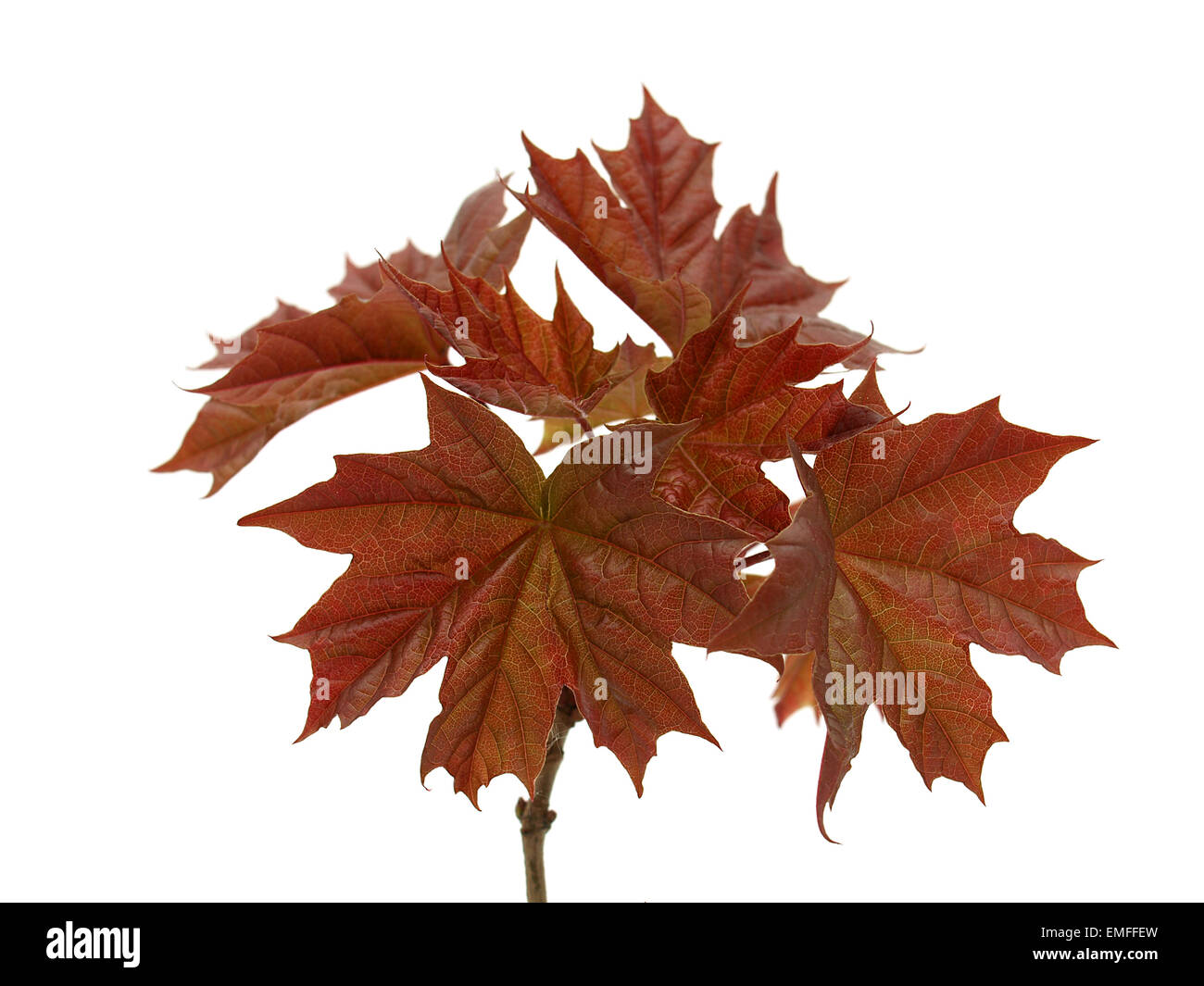 Maple leaves on the white background - Stock Image