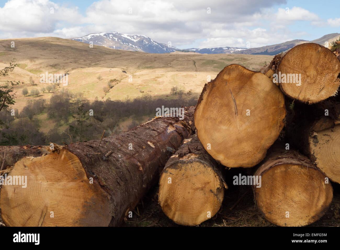 Freshly felled logs - Callander, Scotland, UK - Stock Image