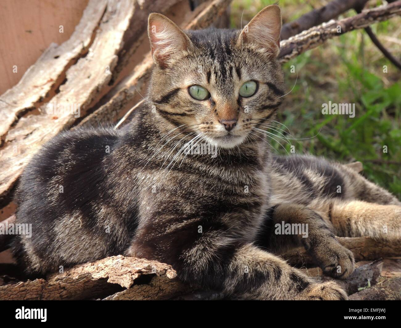 Close up front view of a tabby cat outside - Stock Image