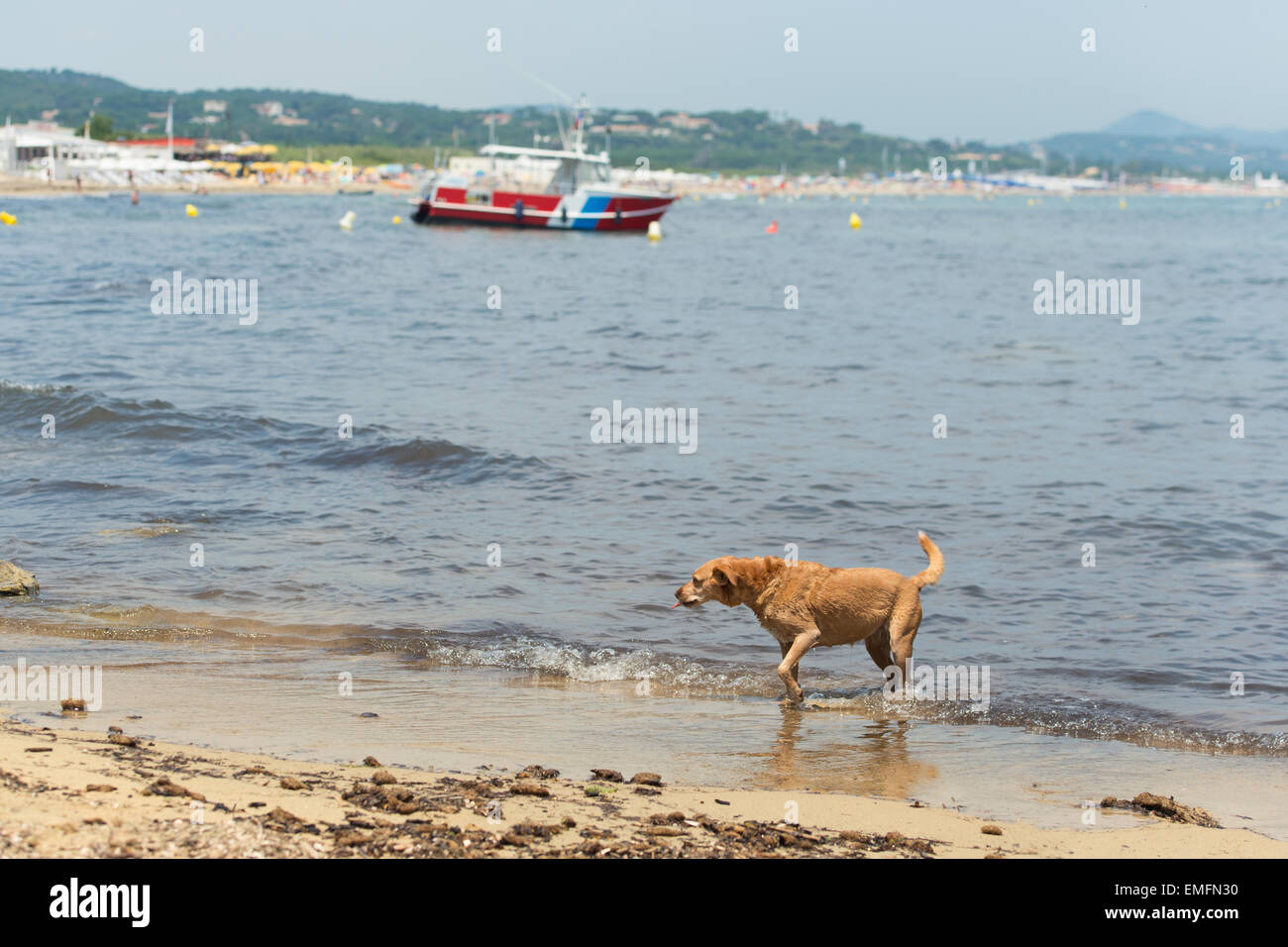 Street dog at the beach in French Ramatuelle - Stock Image