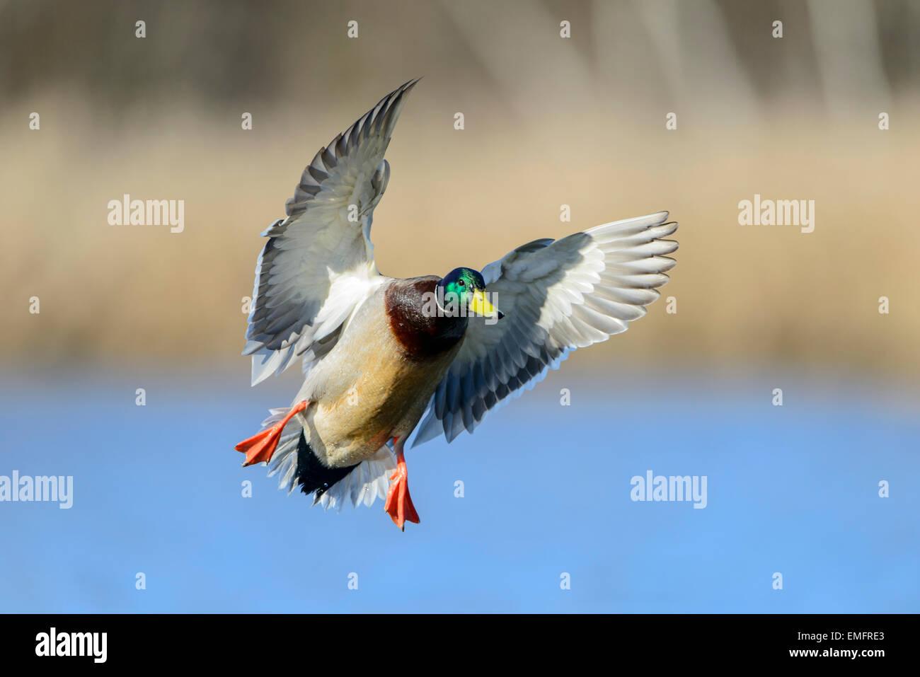Mallard (Anas platyrhynchos) in flight, Pacific Northwest - Stock Image