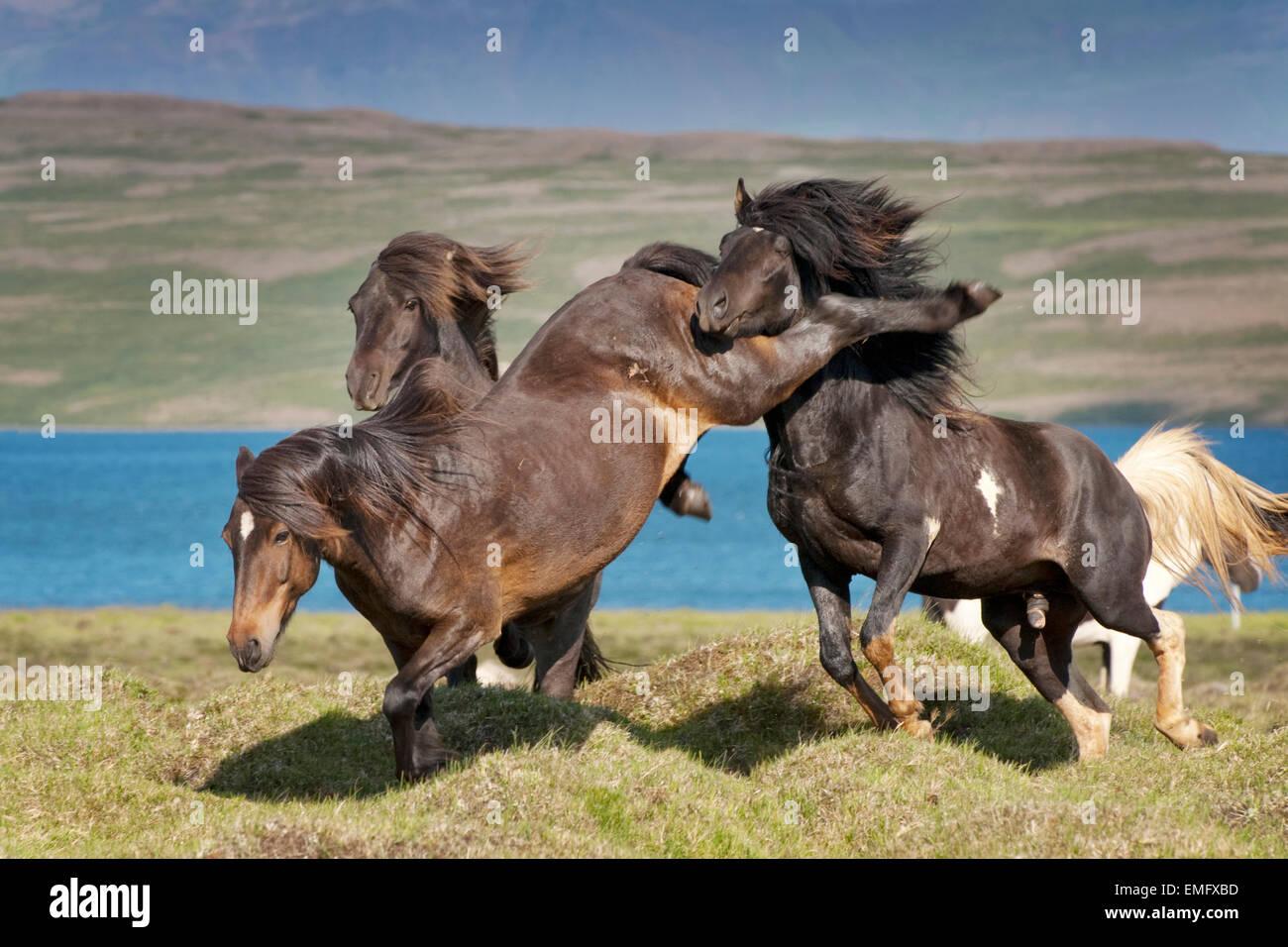 Icelandic Horse (Equus caballus) stallions fighting for dominance, Iceland. - Stock Image