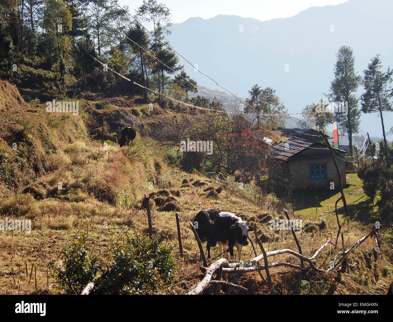 Subsistence Farming Cattle Smallholding Lukla Nepal Asia - Stock Image