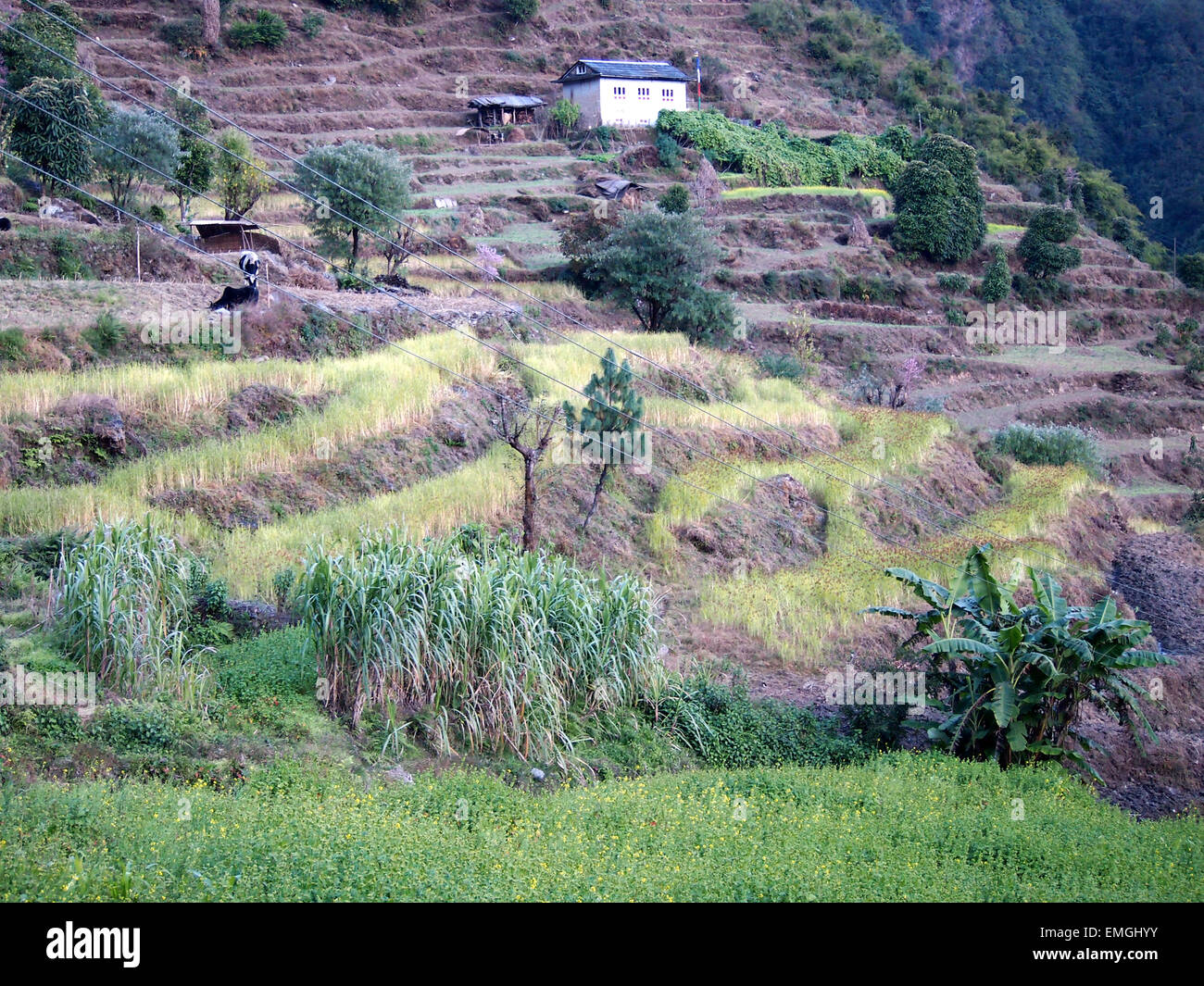 Terraced Fields Subsistence Farming Lukla Nepal Asia - Stock Image