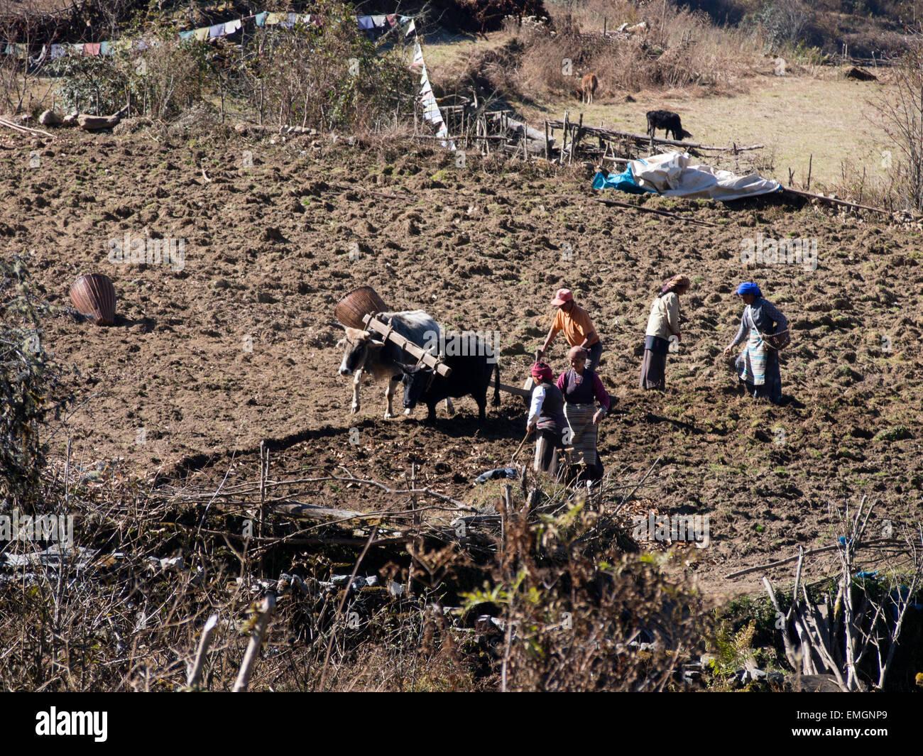 Subsistence Farming Ploughing Lukla Nepal Asia - Stock Image