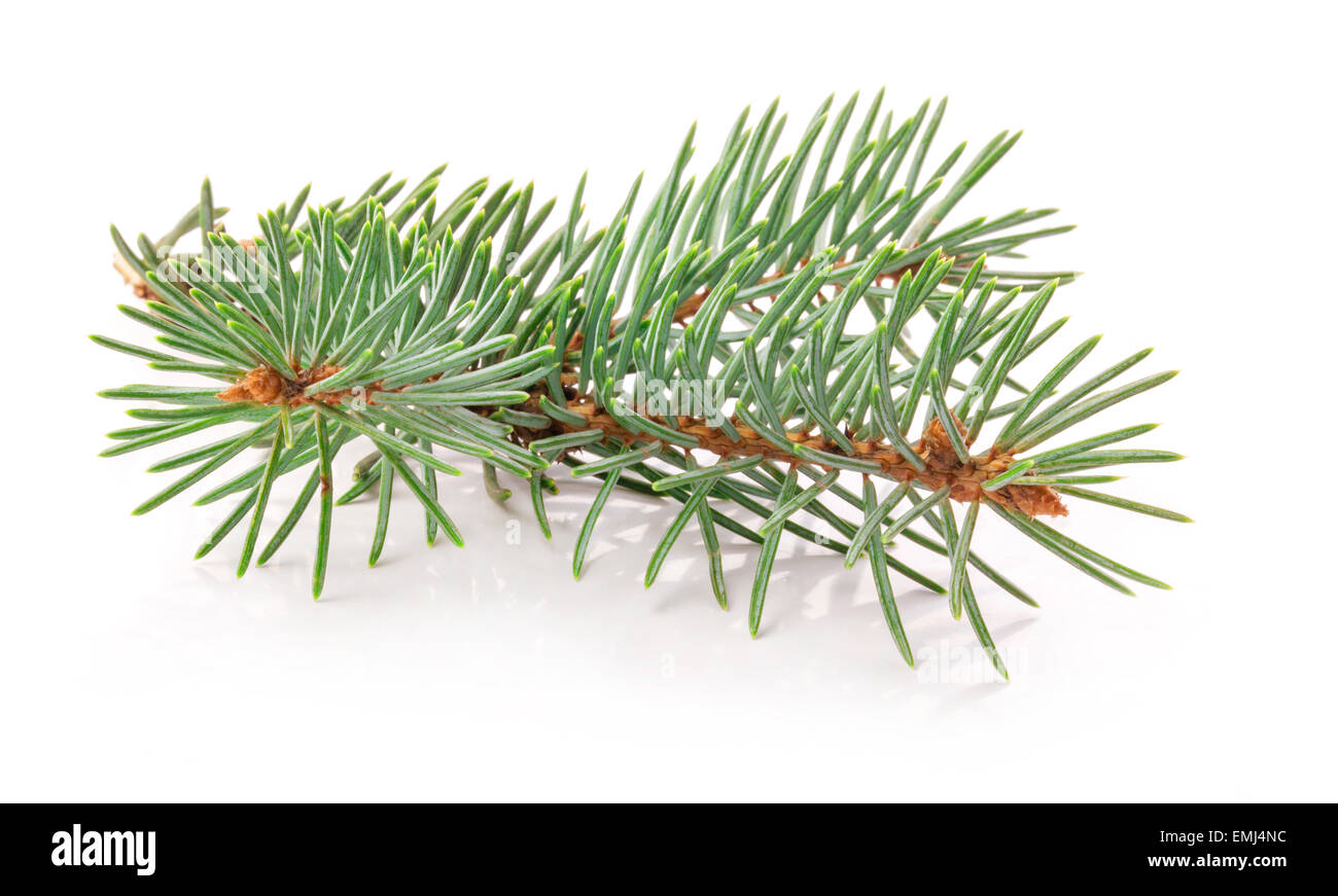 Twig of evergreen fir isolated on white - Stock Image