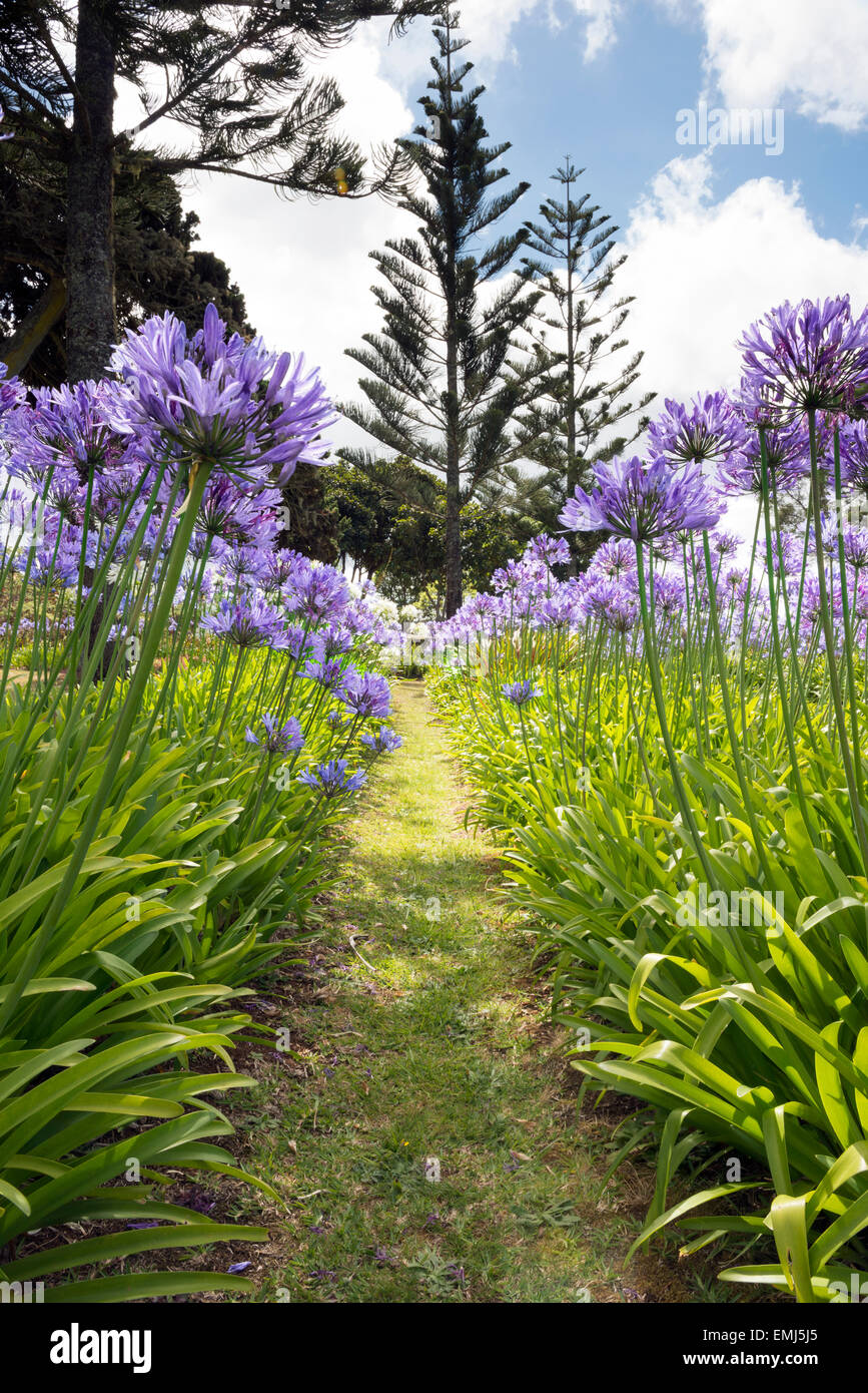 Agapanthus growing at Longwood House gardens on the island of St Helena , home to Napoleon Bonaparte until his death - Stock Image