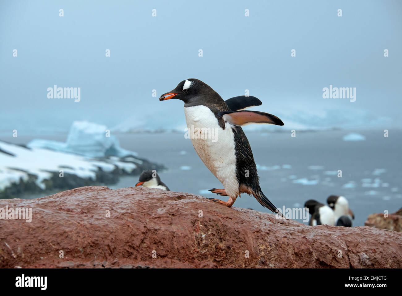 Gentoo Penguin carrying pebble in beak Peterman Island Antarctic Peninsular Antartica - Stock Image
