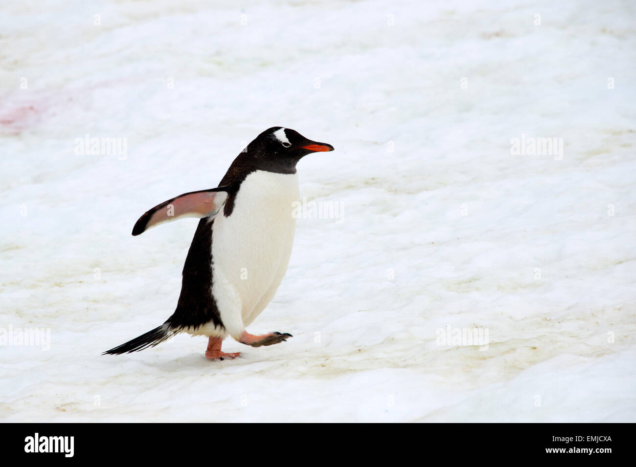 Gentoo penguin returning from sea walking up penguin track Peterman island Antarctic Peninsular Antartica - Stock Image