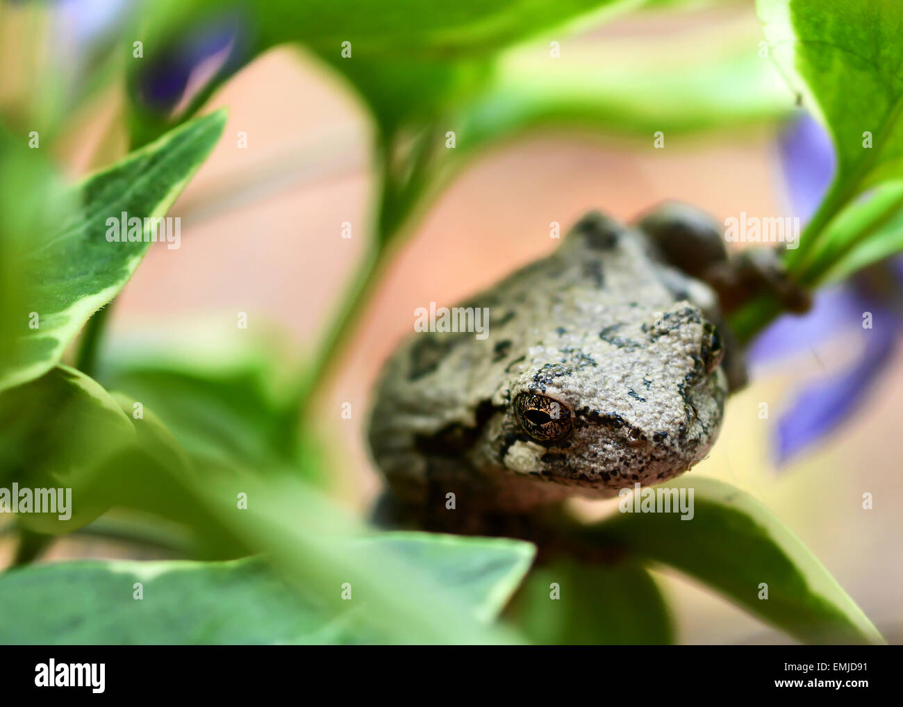 Tree Frog Up Close Hanging On A Green Vine With Purple Flowers In