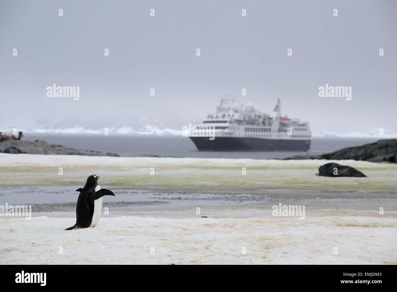 Gentoo Penguin waving good bye Peterman island Antarctic Peninsular Antartica - Stock Image