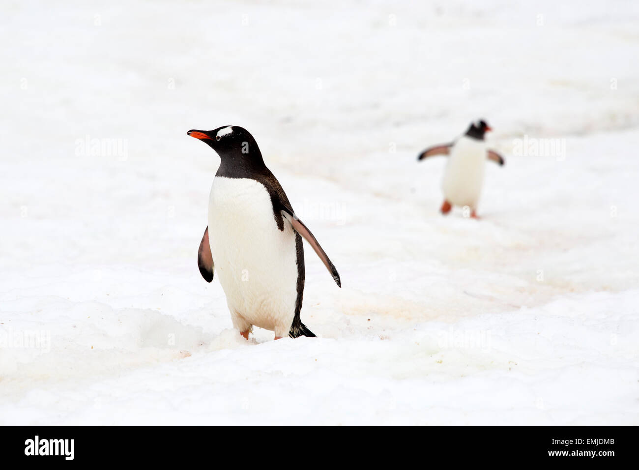 Gentoo penguins returning from sea walking up penguin track Peterman Island Antarctic Peninsular Antartica - Stock Image
