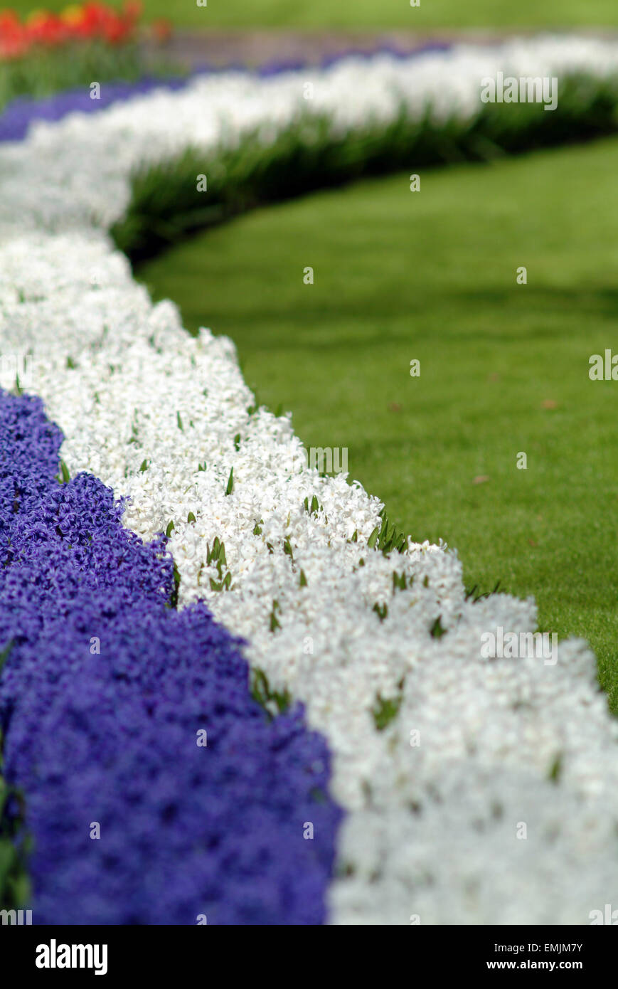 Blue and white Hyacinth (Hyacinthus orientalis) in a row in blossom in a park - Stock Image