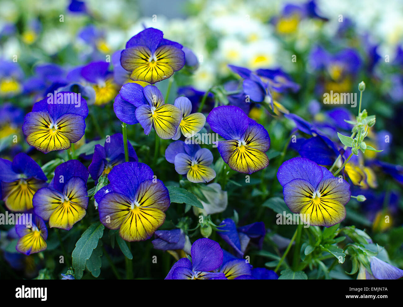 Bunch Of Violets Stock Photos Bunch Of Violets Stock Images Alamy