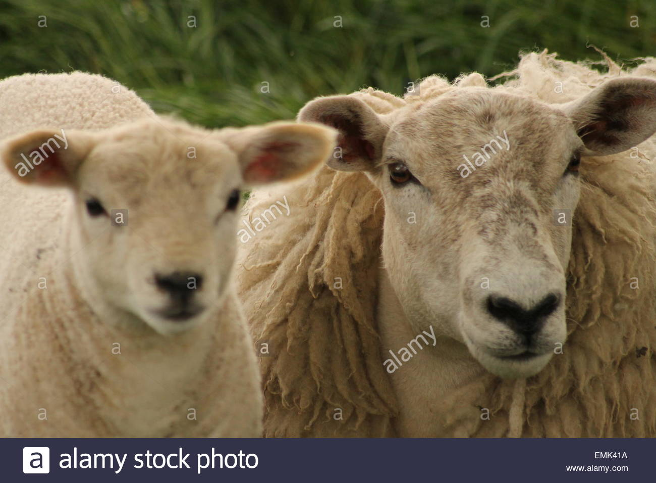 Portrait of sheep and lamb Stock Photo