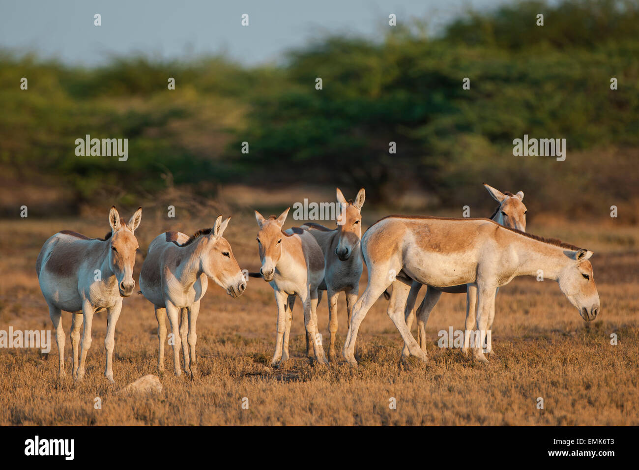Onagers or Asiatic wild asses (Equus hemionus), endangered species, Little Rann of Kutch, Gujarat, India - Stock Image