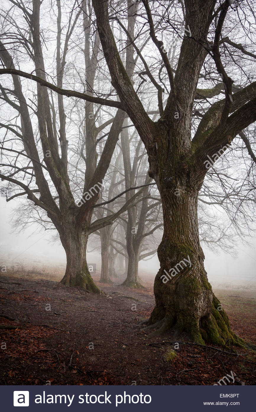 Avenue of lime trees, Large-leaved Linden (Tilia platyphyllos) in sleet and fog, Baden-Württemberg, Germany - Stock Image