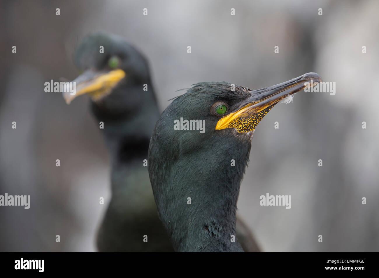 Shag; Phalacrocorax aristotelis Two Inner Farne; UK - Stock Image